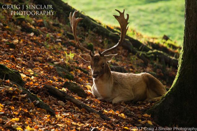 Craig Sinclair Deer in Autumn